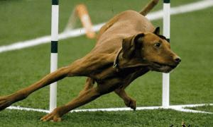 leap dog show